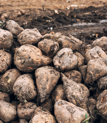 SCS, image of a pile of harvested sugar beets in the field