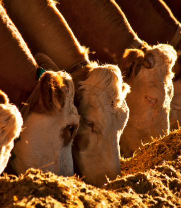Image of beef cattle eating on a feed lot