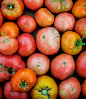 SCS, image of a pile of imperfect tomatoes