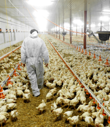 Image of a person walking through a chicken containment building