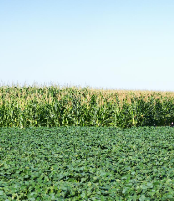 SCS, image of a corn and soybean crop in the field