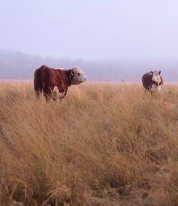 Image of beef cattle grazing in a field