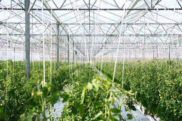 Greenhouse with hydroponic tomatoes growing