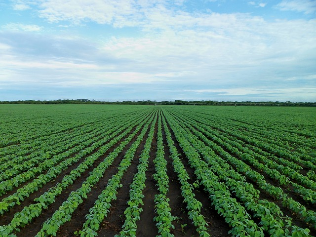 Green soybean field with blue sky and clouds.