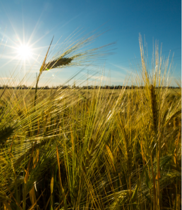 Supply Chain Scene, image of a field of wheat