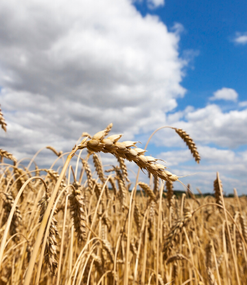 SCS, image of a field of wheat