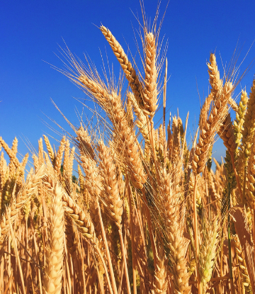 Immage of wheat in the field against a blue sky