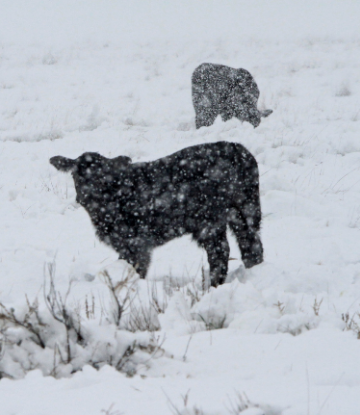 Image of cattle in a snowstorm